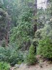 california nutmeg