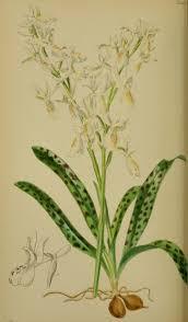 File:Orchis provincialis - Moggridge - Flora of Mentone pl. 42 (1871 ...