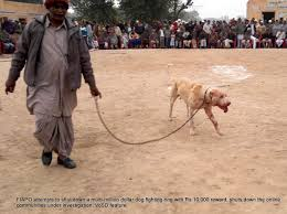 the voice of stray dogs fiapo tries to bust a multi million dog dog being brought in for a fight injuries visible from previous fights