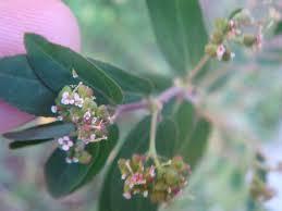 Euphorbia nutans - Wikipedia