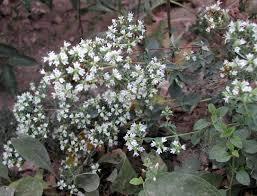 Origanum vulgare subsp. viridulum