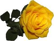 Gelbe Rose · Gelbe Rose