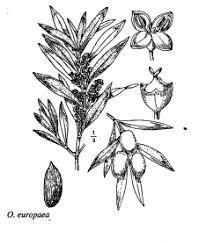 florae.it :: Sp. Olea europaea