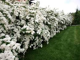 Image result for spiraea vanhouttei