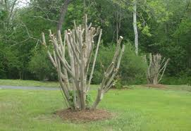 Image result for crape myrtles pruning