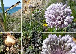 Allium polyanthum Schult. & Schult.f. - Portale della Flora di Roma