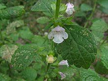 Corolla - Wikipedia