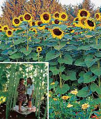 Sunflowers grow tall