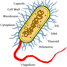 prokaryotic bacterial cell diagram photo album   diagramsimages of diagram of a bacteria cell diagrams