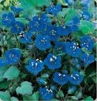 california bluebell
