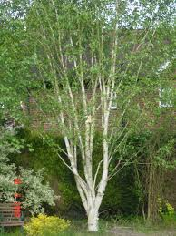 Image result for betula jacquemontii