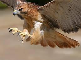 Image result for hawk attack chicken