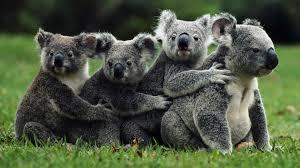 Резултат с изображение за коала изображения