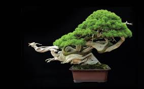 tree bonsai tree leaves g wallpaper 2560x1600 67870 wallpaperup bonsai tree