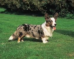 Welsh <b>corgi</b> | <b>dog</b> | Britannica