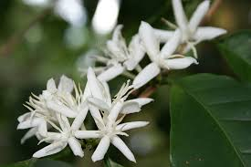 Coffea flowers