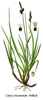 Carex ericetorum - Wikipedia