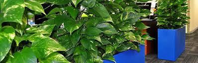 golden pothos divider brisbane office plants office plants rental caboolture brisbane office plants