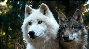 Bildergebnis für der einsame wolf