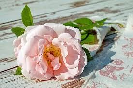 6,000+ Free <b>Beautiful Rose</b> & <b>Rose</b> Images - Pixabay