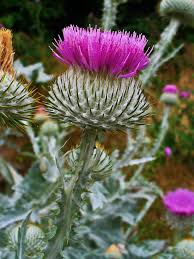 Onopordum acanthium - Wikipedia