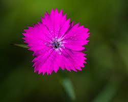 Dianthus carthusianorum - Wikipedia