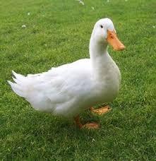 Resultado de imagem para foto de patos