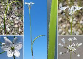 Allium subhirsutum L. subsp. subhirsutum - Guida alla flora degli ...