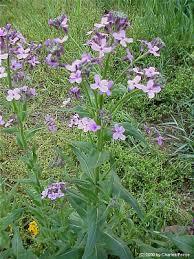 Hesperis matronalis - Michigan Flora