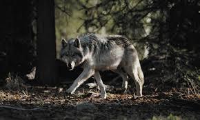 Rethinking predators: <b>Legend of the</b> wolf : Nature News & Comment