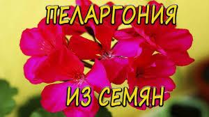 <b>Пеларгония</b>(герань) из семян. [Надежда и Мир] - YouTube