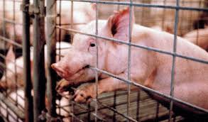 environment ethics the factory farm animal blawg