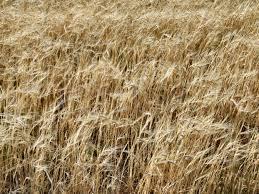 Monção chuvosa pode levar trigo indiano à recorde