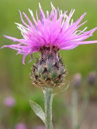 Centaurea maculosa - Wikipedia, la enciclopedia libre
