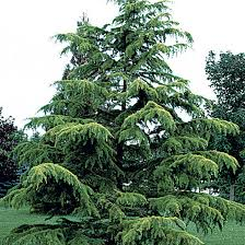 National Tree of Pakistan