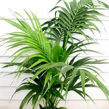 kentia palm office plants melbourne brisbane office plants