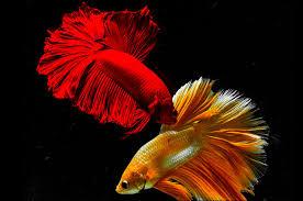 <b>Рыбка</b>-петушок: виды, уход, содержание, размножение ...