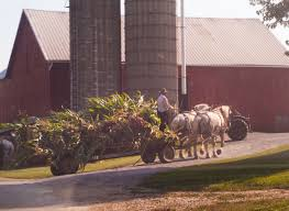 amish country dutchman news amish farmer chopping silage