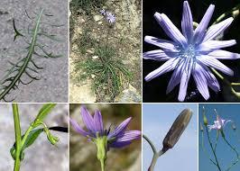 Lactuca perennis L. - Sistema informativo sulla flora vascolare dei ...