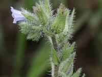 Echium parviflorum