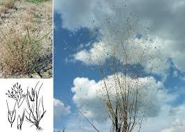 Aira caryophyllea L. - Sistema informativo sulla flora vascolare dei ...