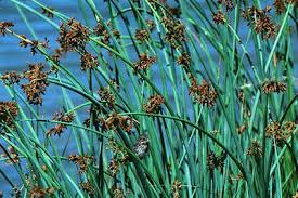 Image result for bulrush