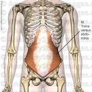 musculus transversalis abdominis