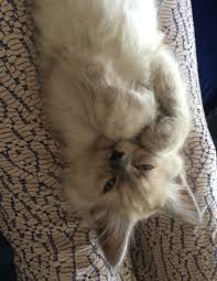 pictures of ragdoll cats their paws crossed baby mimi ragdoll kitten paws crossed