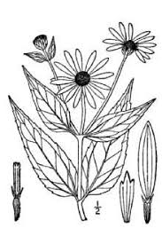 Plants Profile for Helianthus pauciflorus pauciflorus (stiff sunflower)