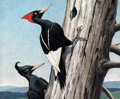 in search of the imperial woodpecker audubon photo