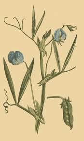 Lathyrus sativus - Wikipedia