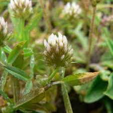 Trifolium strictum | Online Atlas of the British and Irish Flora