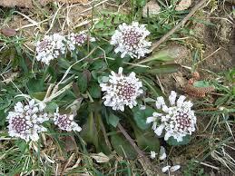 Thlaspi caerulescens - Wikipedia