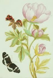 <b>Peony</b> and Butterfly, School of <b>Maria</b> Sibylla Merian | Mia